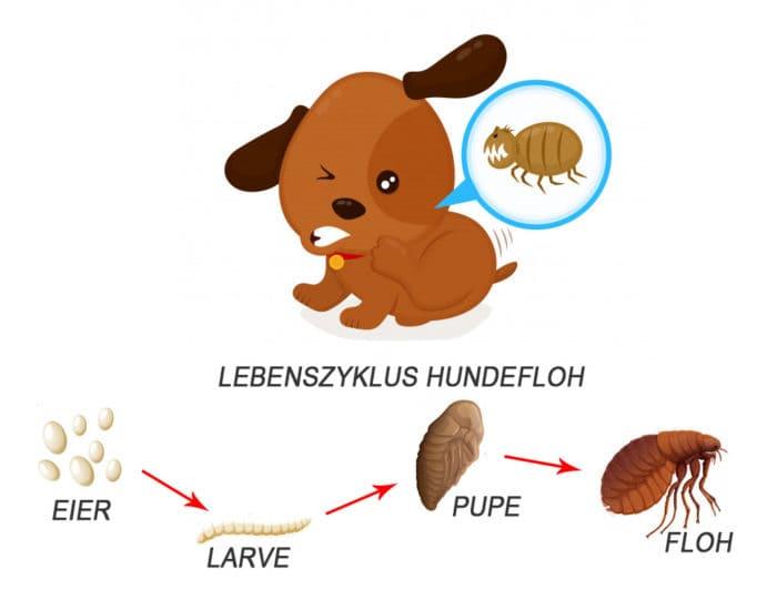 Lebenszyklus Hundefloh